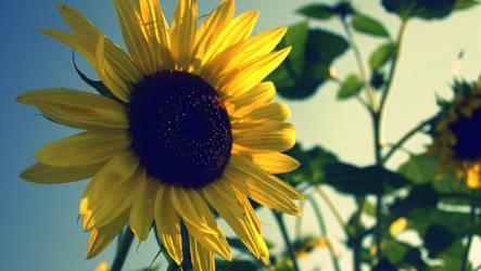 Sunflower 346-001