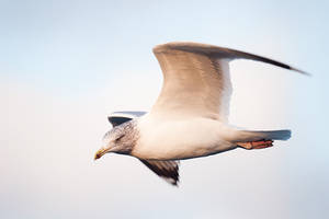 Herring gull by Dunadan-from-Bag-End