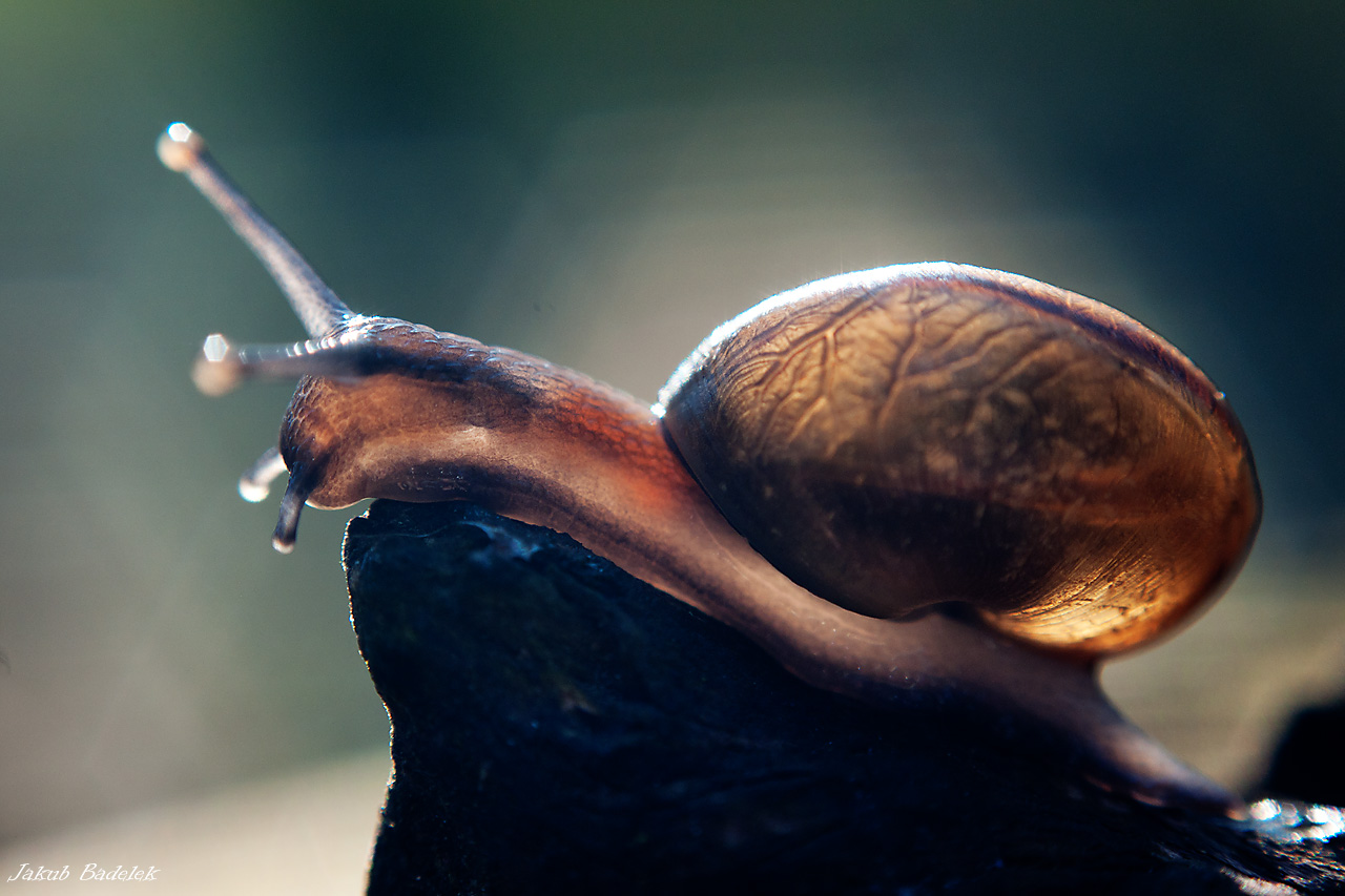 Snail backlit by Dunadan-from-Bag-End