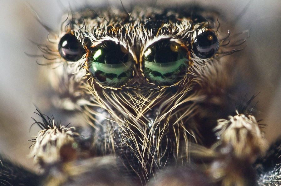 Jumping Spider series 7 maxmag by Dunadan-from-Bag-End