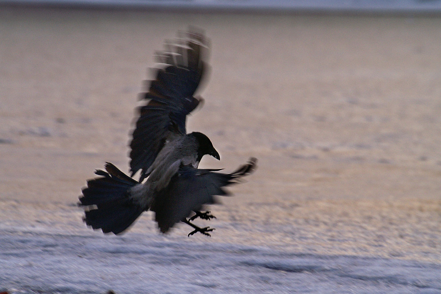 Hooded crow 2 by Dunadan-from-Bag-End