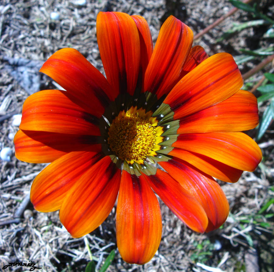 Orange - Page 3 Orange_gazania_by_drakiross-d4omaay