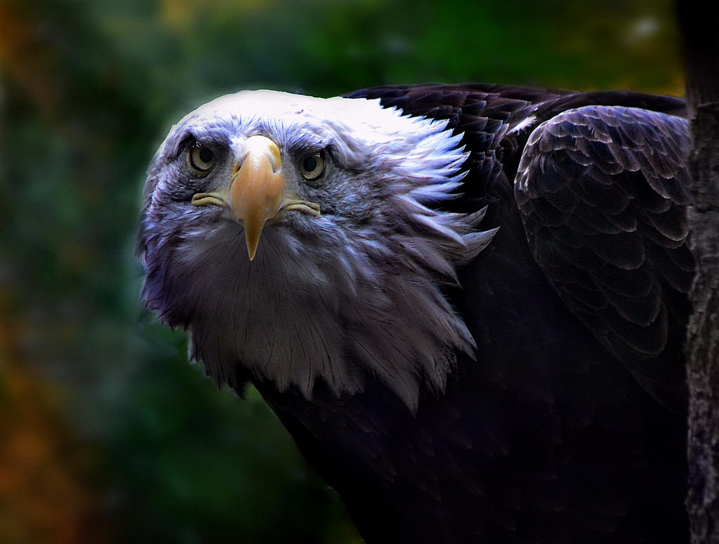 Bald Eagle by GirlCreature98