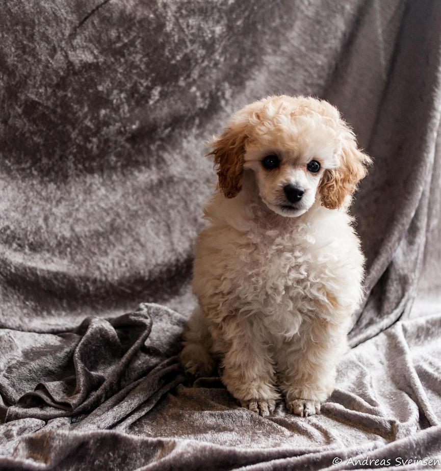 puppy by sveinsen3000