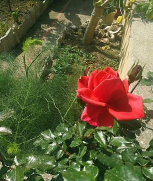 My garden roses by Ellysiumn
