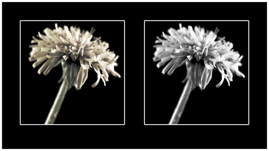 Dandelion Face-Off by jasonksmith