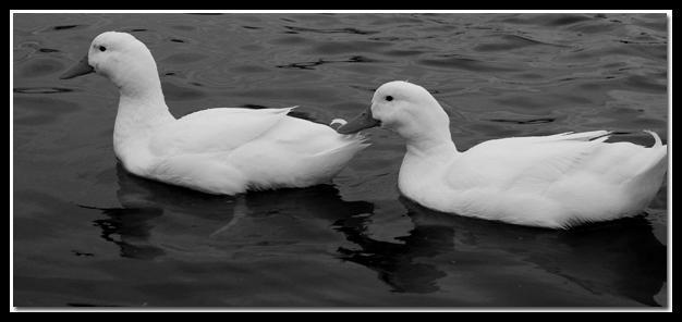 Twin Ducks by jasonksmith