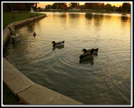 Heritage Park Ducks by jasonksmith