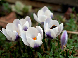 crocuses by Bodghia
