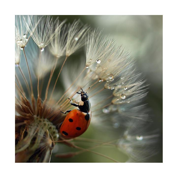 ladybird by Bodghia