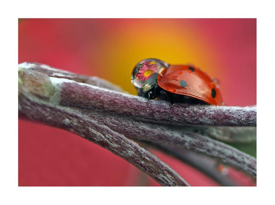 Ladybird with a rain drop by Bodghia