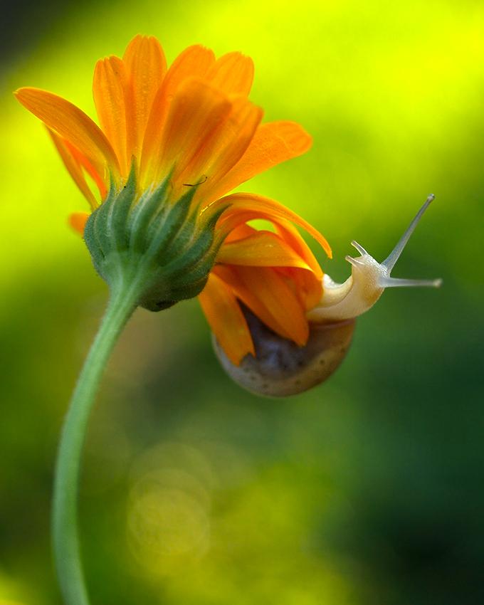 snail by Bodghia