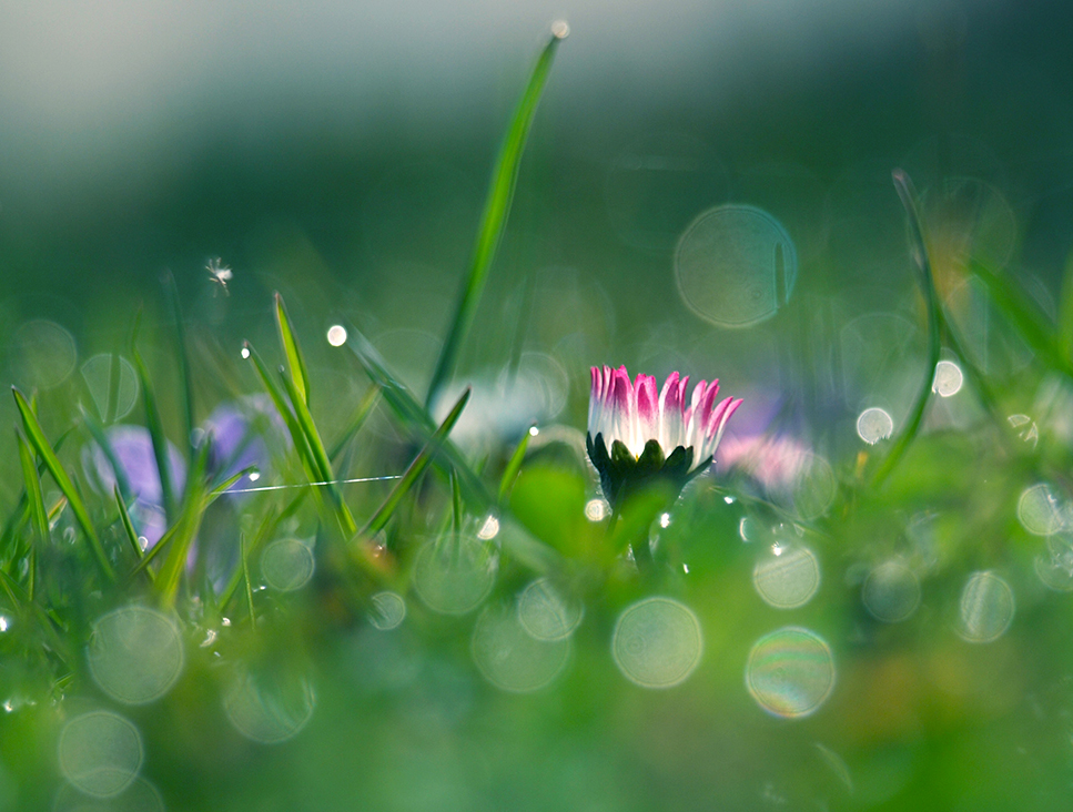 Daisy by Bodghia