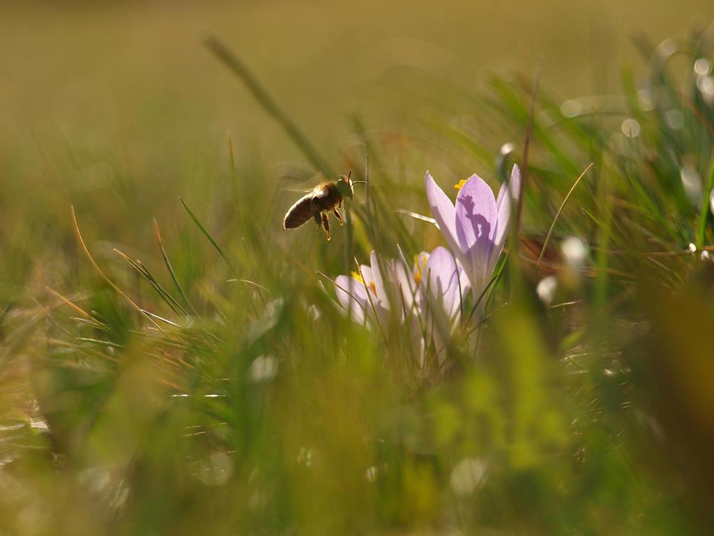 Crocus and Bee
