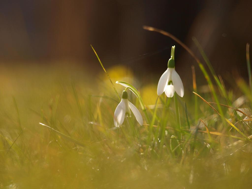 snowdrops by Bodghia