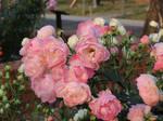 rose 44