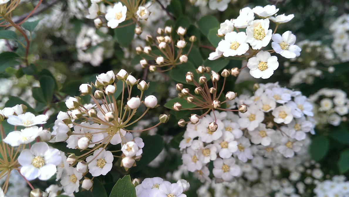 Flowers on a bush by kilmar64
