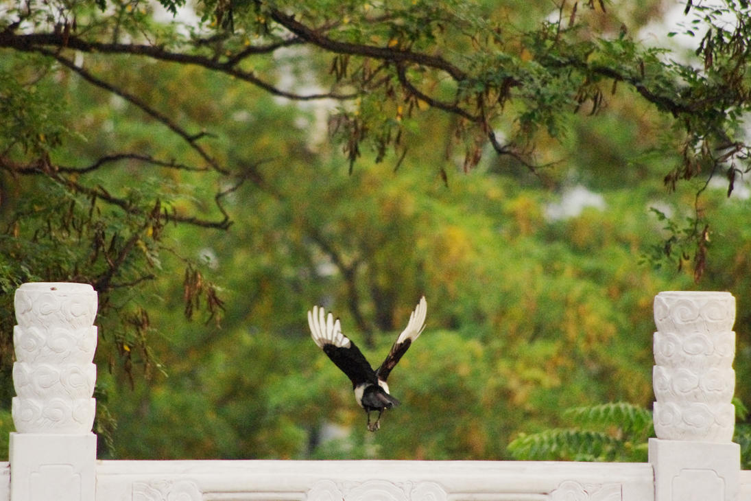 Magpie in Flight by 0olong
