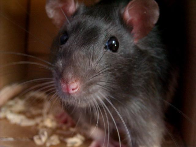 rat by mysmalldream
