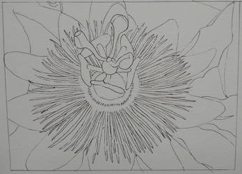 Passion flower line drawing by steffy0075
