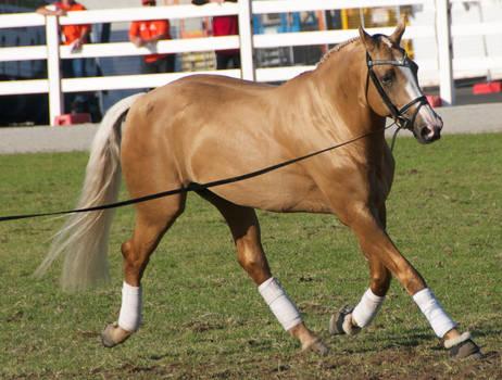 Palomino, trotting - Stock