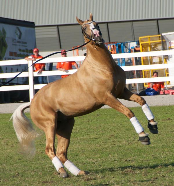 Palomino Horse Rearing Palomino Rearing Stock by
