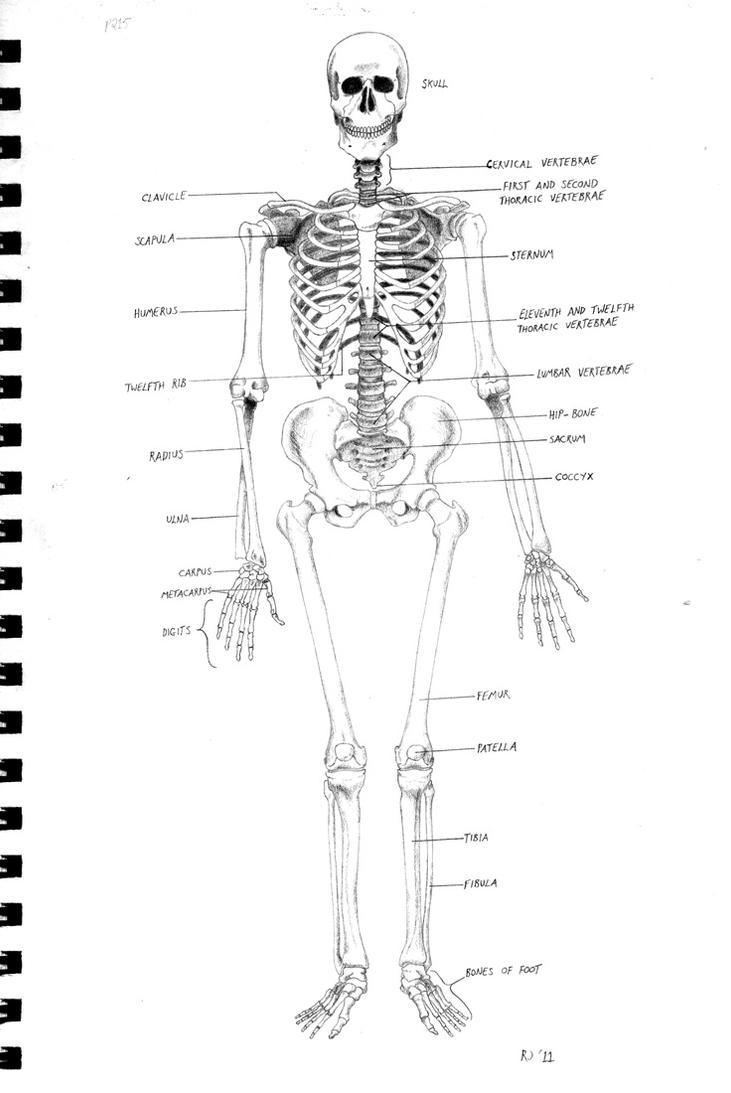 Skeleton diagram by kordyne on deviantart skeleton diagram by kordyne pooptronica Image collections