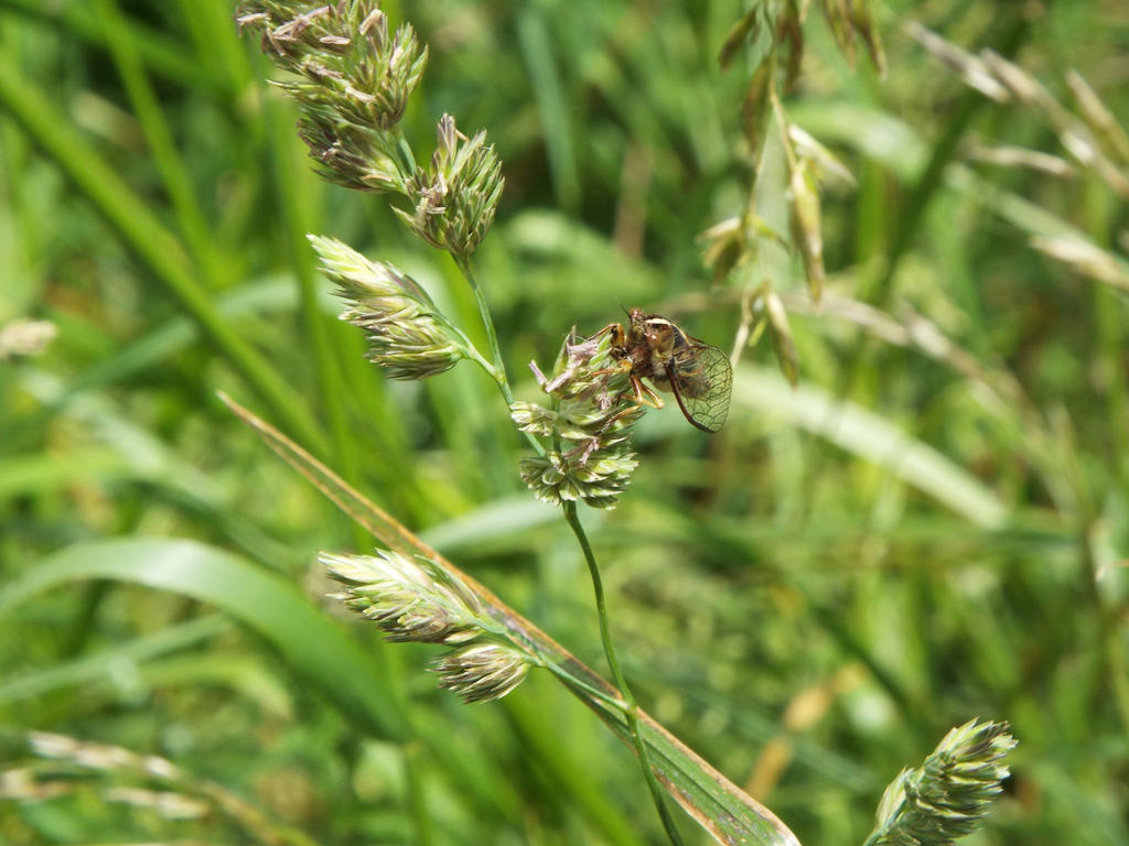 Cicada by Just-a-Dreemurr