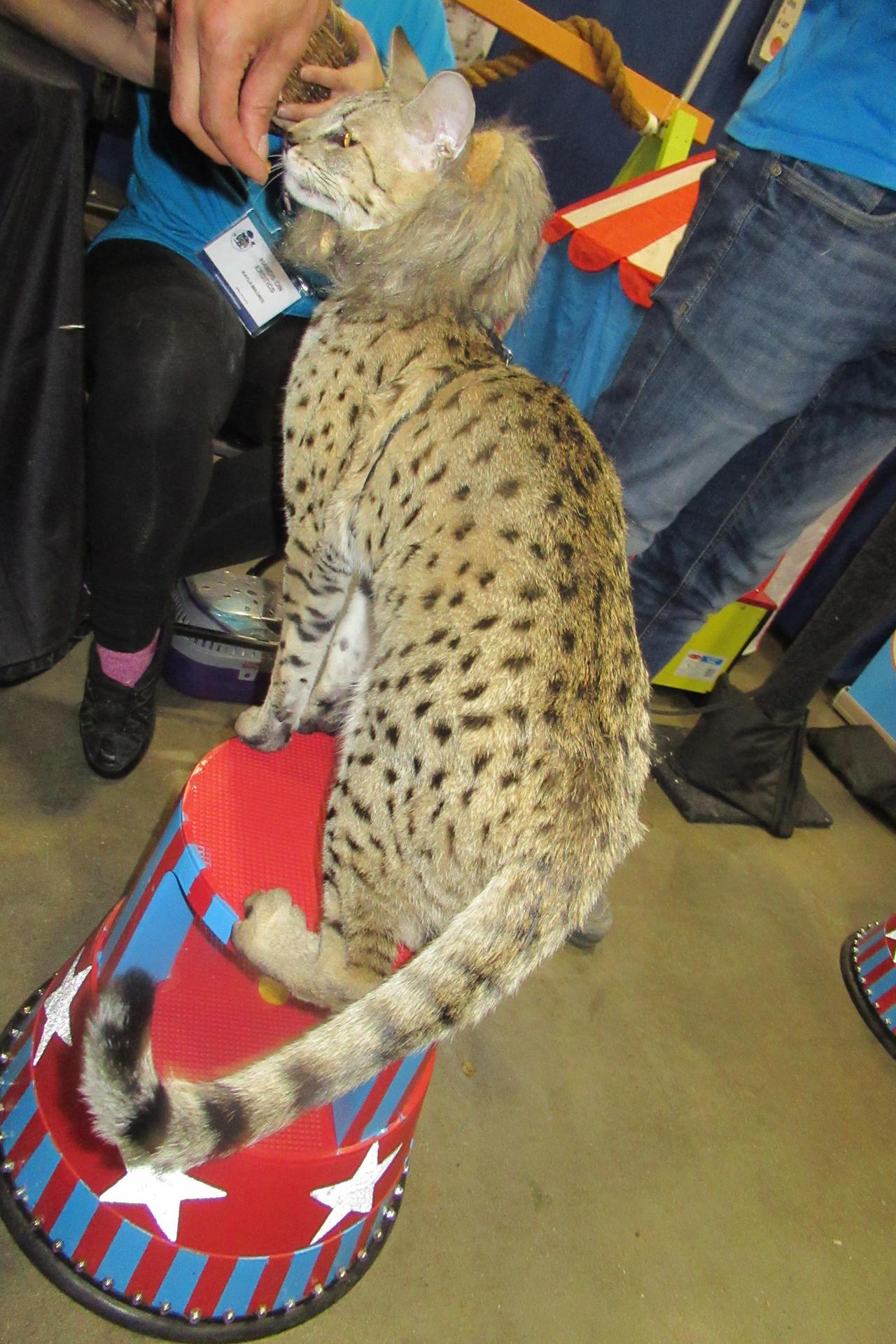 Savannah Cat (Video Link) by Codetski101 on DeviantArt