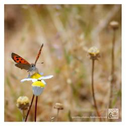 Small Copper by Garelito-Photos