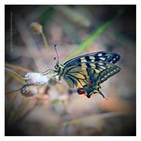 Papilio Machaon by Garelito-Photos