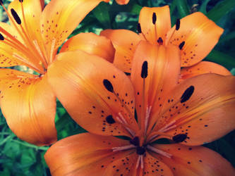 tiger lily III by fluffylink