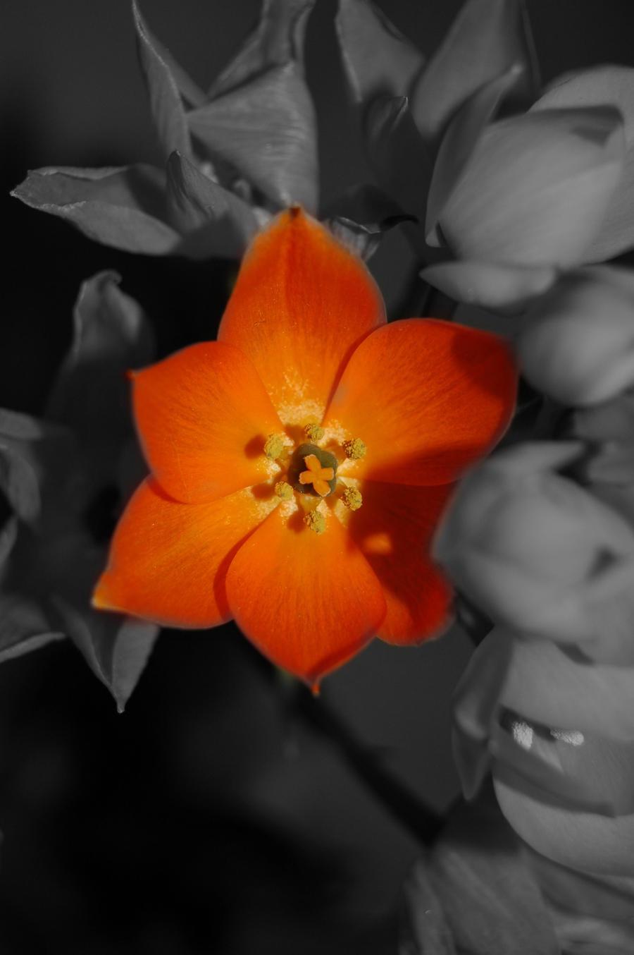 Orange - Page 3 Orange_flower_by_arhenwenmalcairiel-d4gjjei