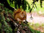 Alaskan Red Squirrel