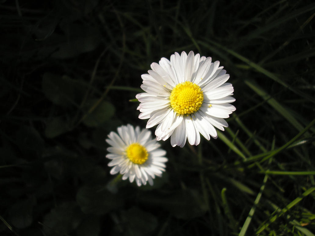 Daisies by Forgotemme