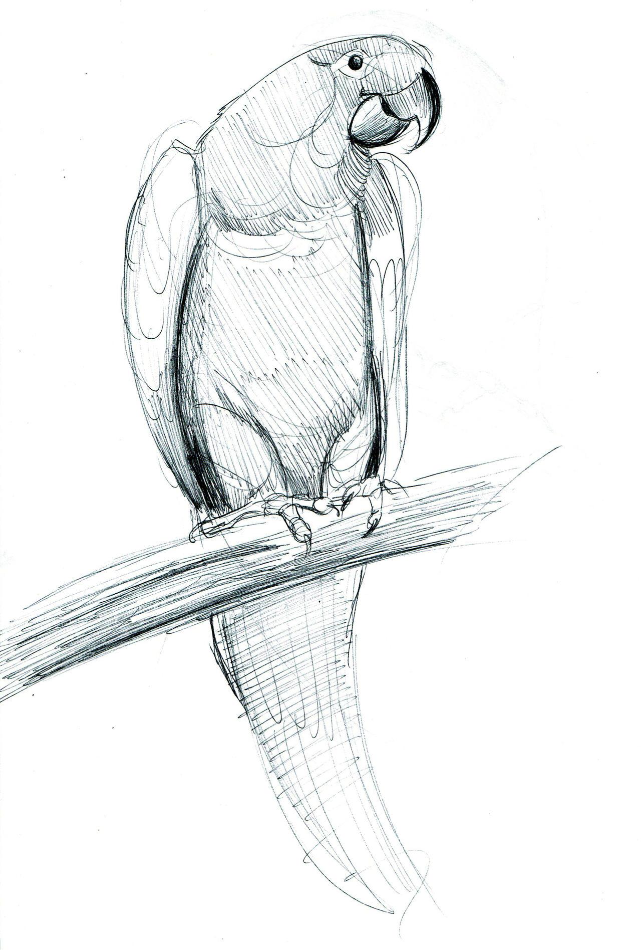 Parrot Sketch By Samarilla On Deviantart
