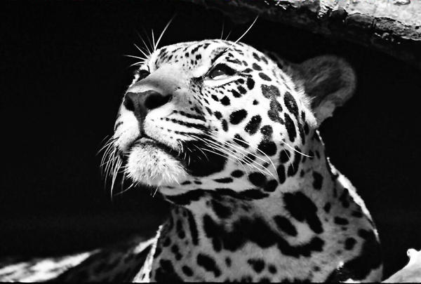 Black and white jaguar by zendraw