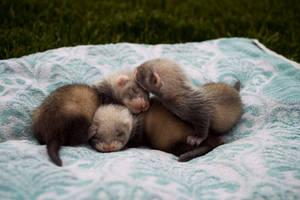 Ferret Dreams by flclharu