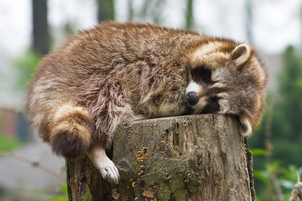 Racoon by coloridas-aves
