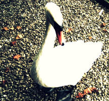 Swan by clauds27