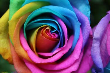 Rainbow Rose by angela808