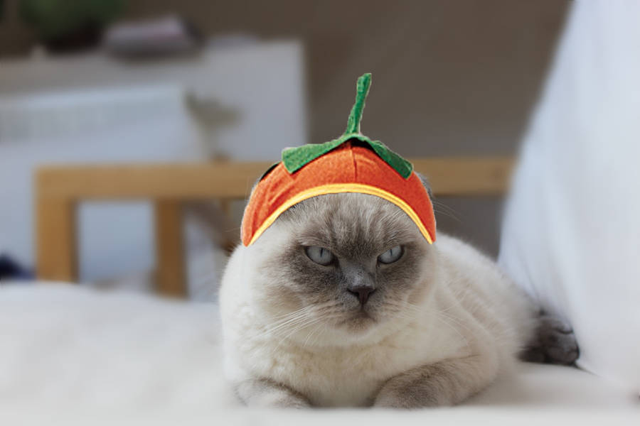 my cat's halloween costume by enchantedapple