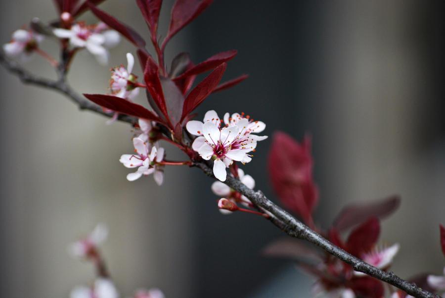 Sakura In Bloom II by Kimiko-chan1