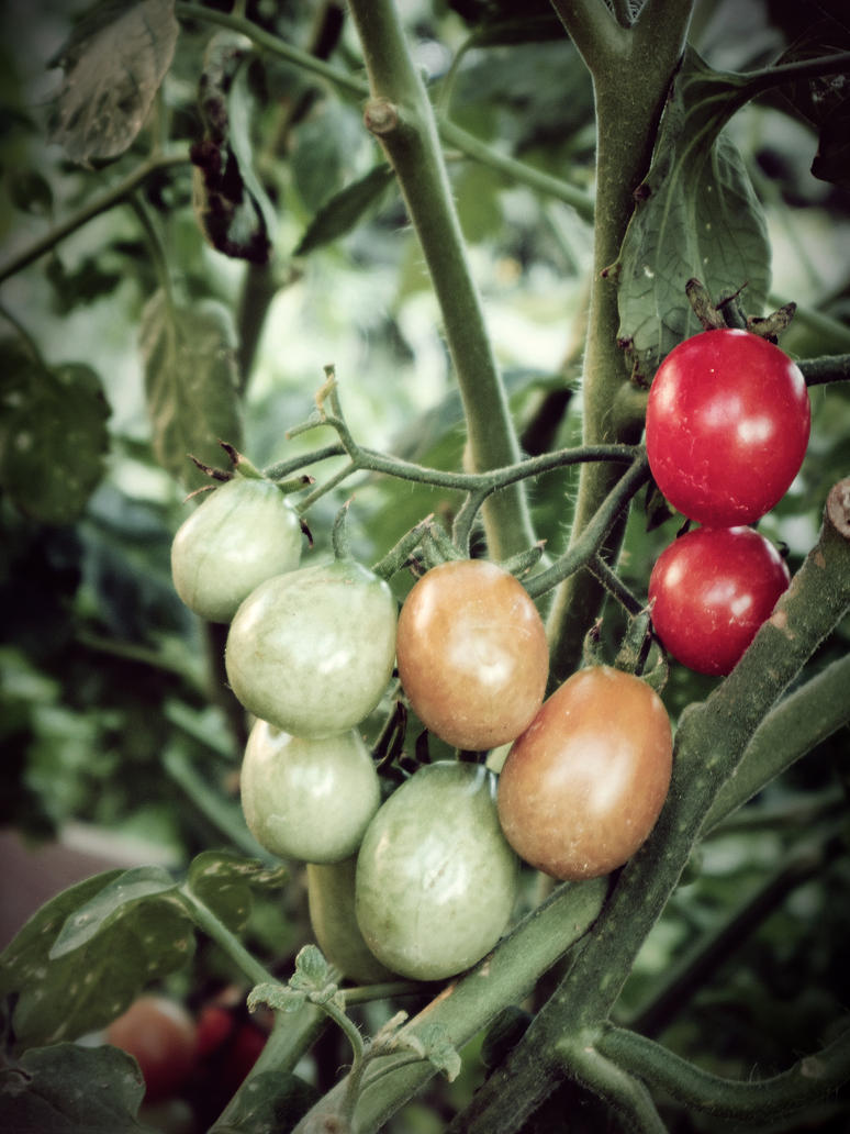 Tomatoes by joelhouston