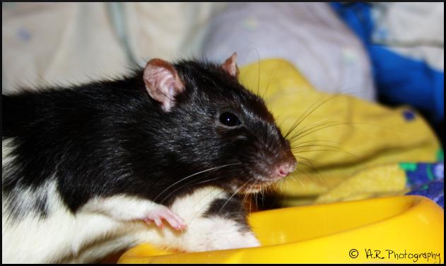Bouh, un gros rat ! Gas___by_anaroots-d4vslto