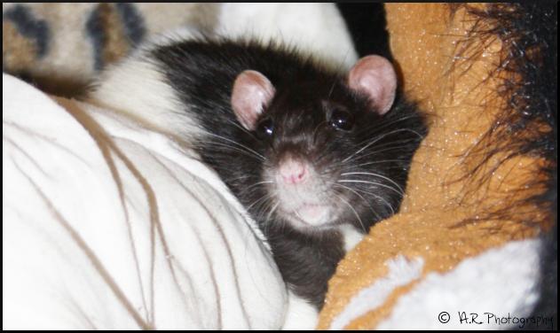 Bouh, un gros rat ! Bouh__i__m_the_big_bad_rat__by_anaroots-d4vsm84