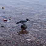 Raven on a stone