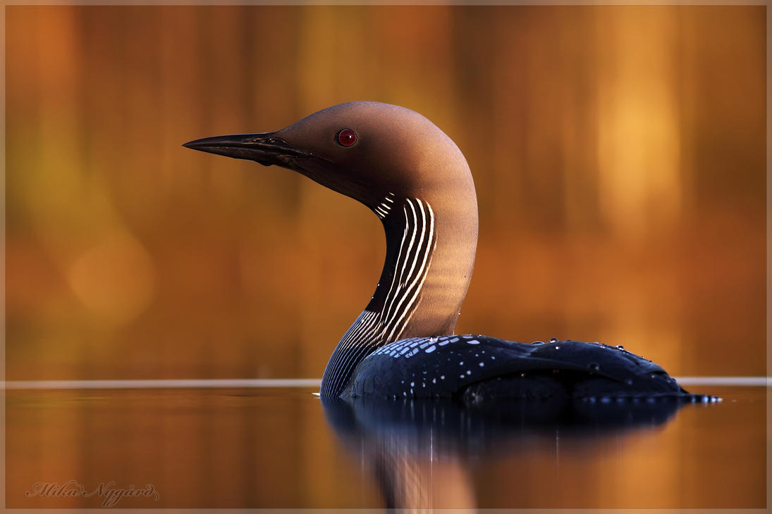 Black-throated diver 3 by Starfall00