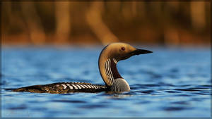 Black Throated Diver 8 by Starfall00