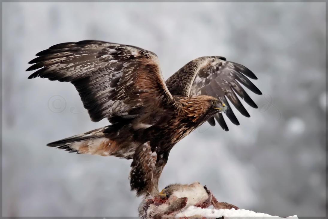 Rare White Eagle Stirs Souls  Audubon